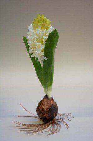 Blomsterløg med hvid blomstrende hyacint