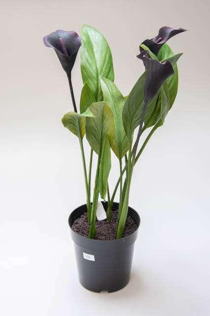 Vinrød callalilje i potte. Potteplante med liljer og imiteret jord. Stor potte med grøn kunstig plante.