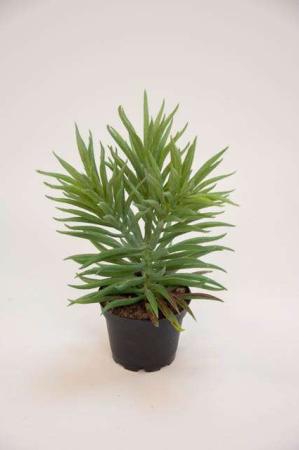 Kunstige planter - grønne. Flot kunstig grøn sukkulent.