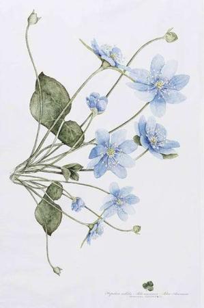 Viskestykke af økologisk bomuld fra Koustrup og Co. Viskestykke med blå anemoner.