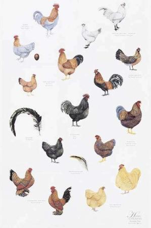 Viskestykke af økologisk bomuld fra Koustrup og Co. Viskestykke med høns.